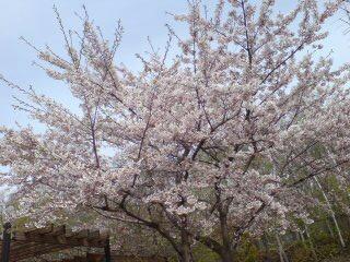 真駒内と平岸公園の桜